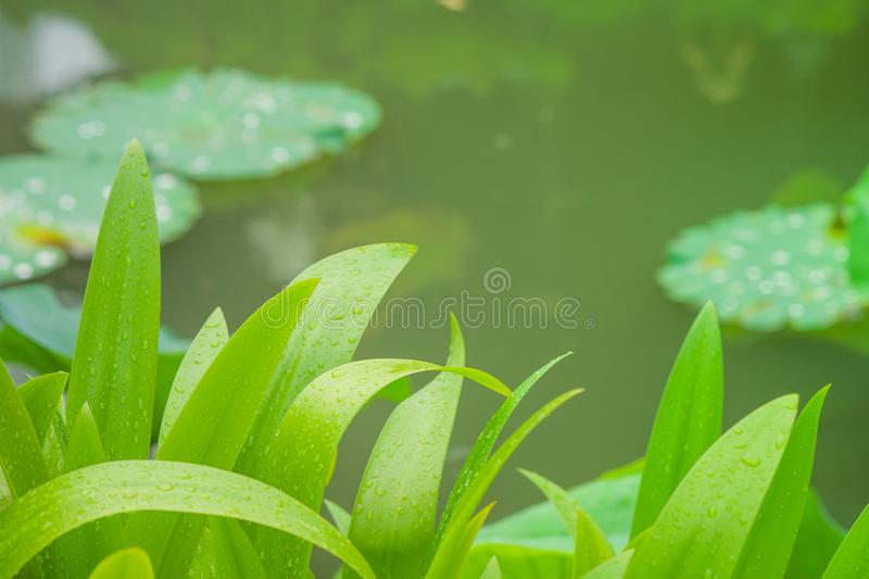 Close up green leaves with lake background at public park. stock images