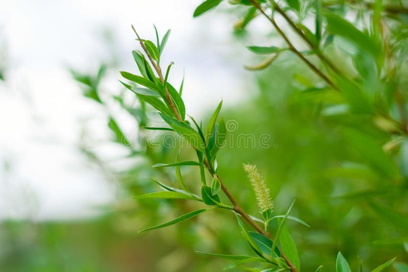 Green leaves of tree, natural summer or spring greenery backdrop. Close up green leaves of tree, natural summer or spring greenery backdrop royalty free stock photo