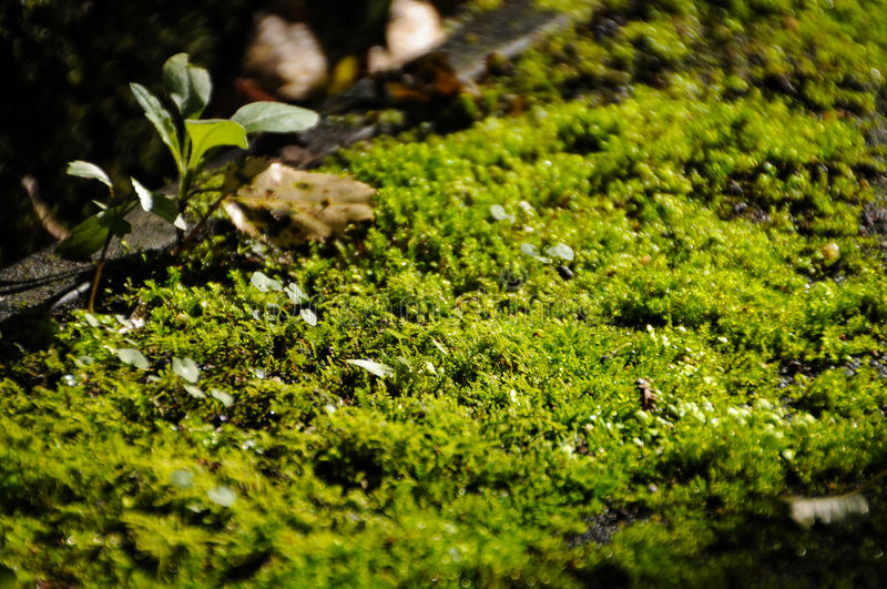Close up green lichen moss plant grow on wood. Mosses are small flowerless plants that typically grow in dense green clumps or mats, often in damp or shady stock photos
