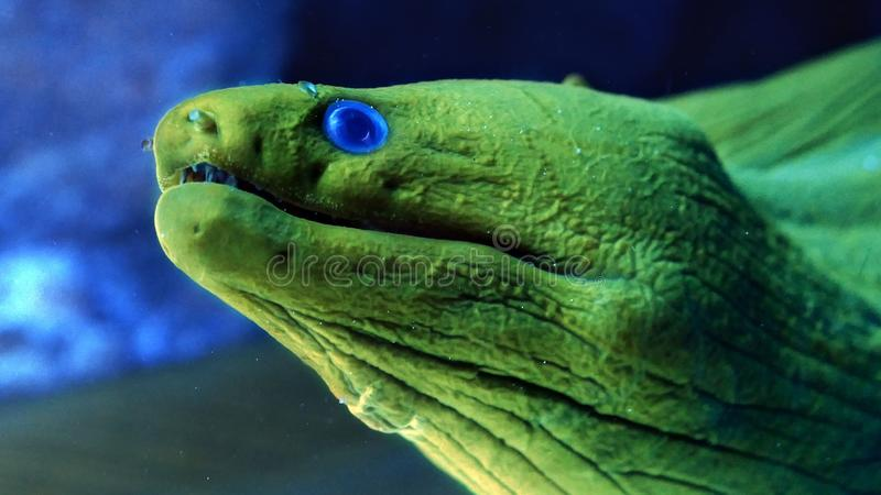 Close up of green moray eel with blue eyes royalty free stock photos