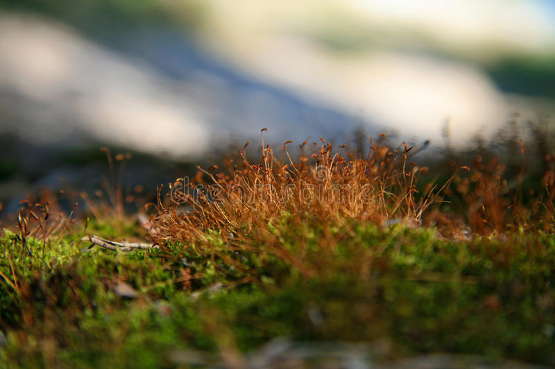 Close-up green moss. With focus on stamens royalty free stock images