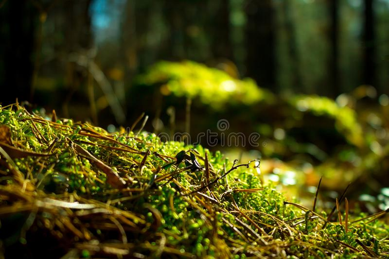 Close up of green moss. Ecology nature landscape. Sunlight in dark forest. Macro stock photography