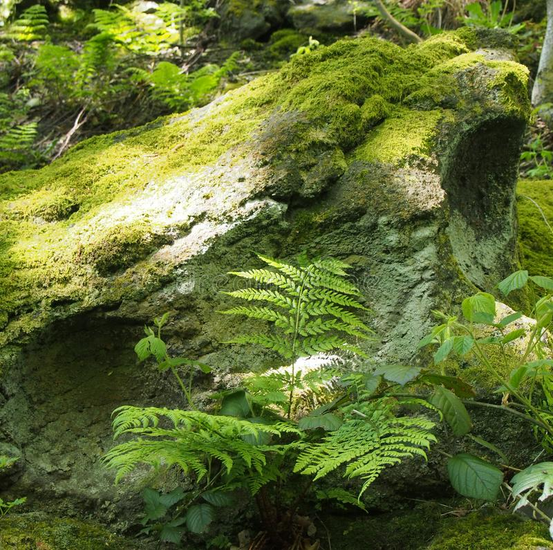 close up of a green moss and lichen covered rock surrounded by ferns and plants in bright spring sunlight on a forest floor stock photo