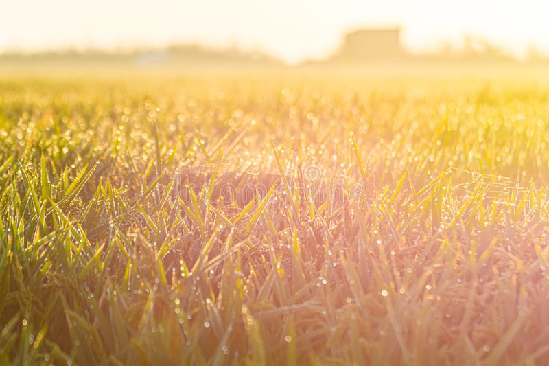Close up of green paddy rice field under sunrise stock photos