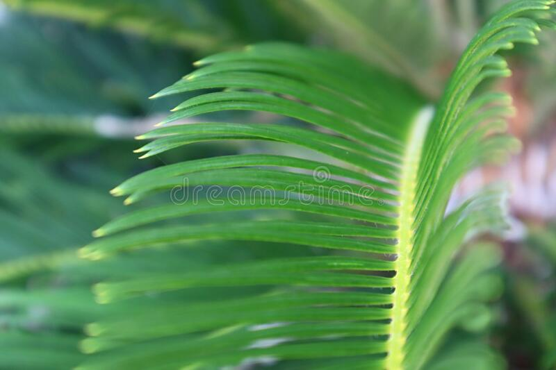 Close up green palm fern leaf stock images