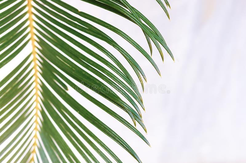 Close-up green palm leaf on blurred white marble background. royalty free stock photography