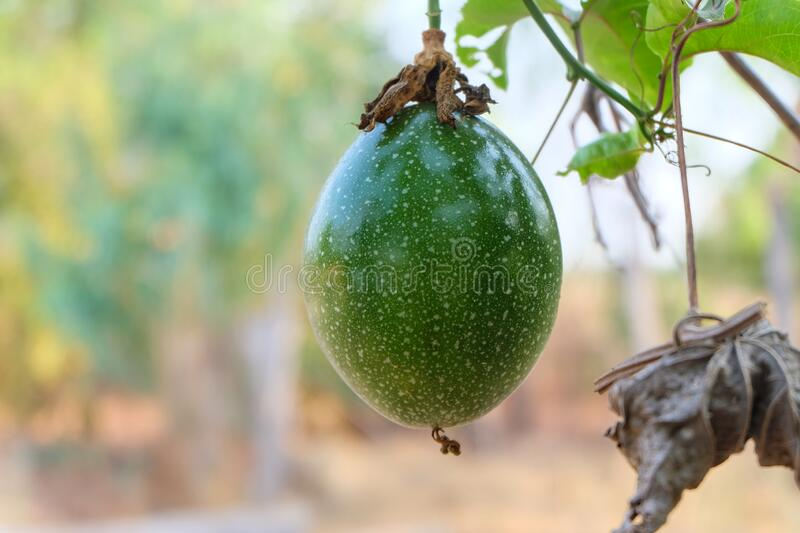 Green passion fruit in nature royalty free stock images