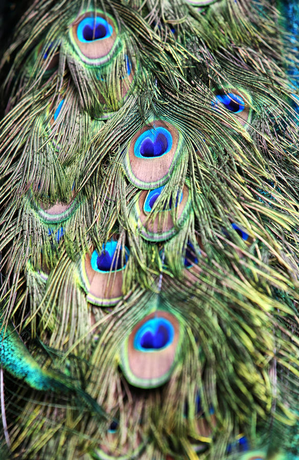 Close up Green Peafowl feather. Background stock image
