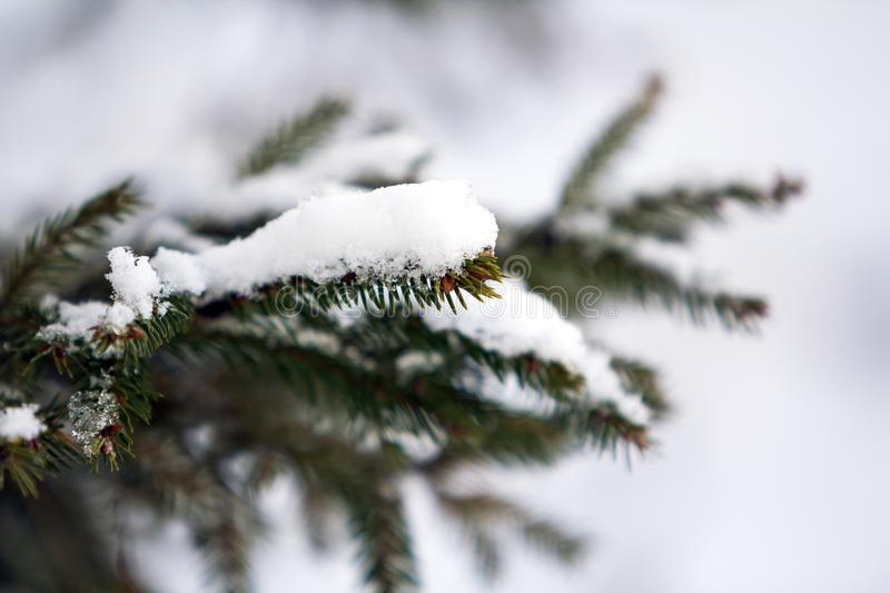 Close-up of green pine tree branches covered with snow in winter stock image