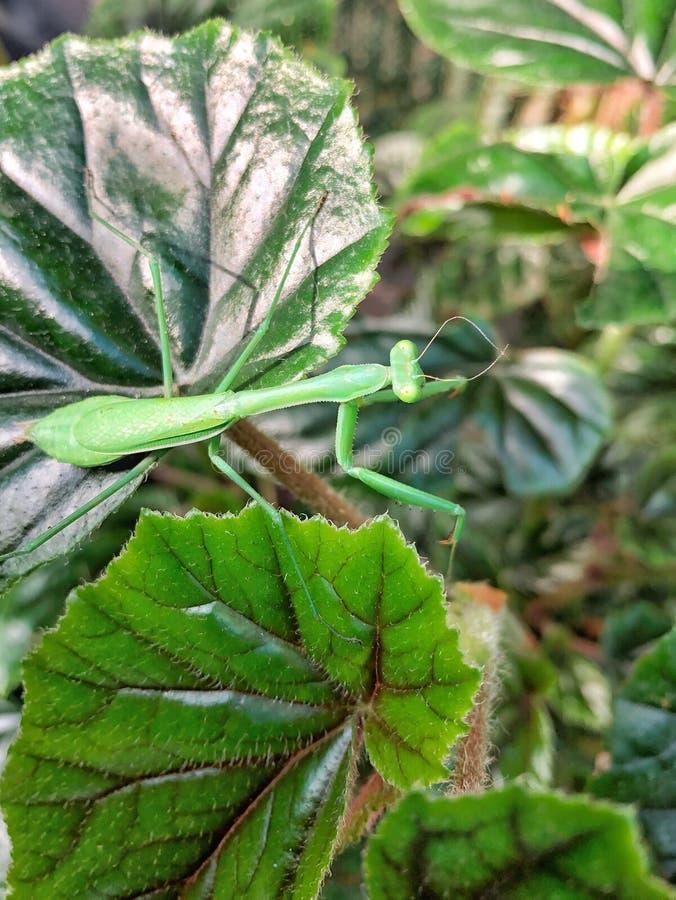 Green Praying Mantis close up royalty free stock image