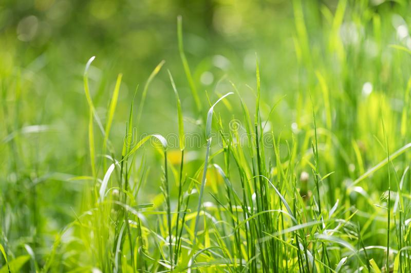 Close-up green summer morning grass meadow with bright sunlight. stock photo