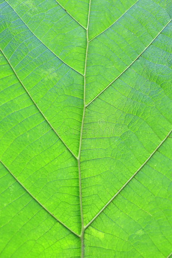 Close up green teak leaf texture background stock photo