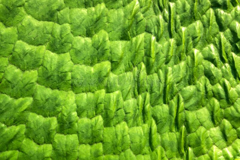 Texture of A Green Victoria Amazonica Leaf for Background. Close-up of a green Victoria amazonica leaf's pattern in the sunshine stock images