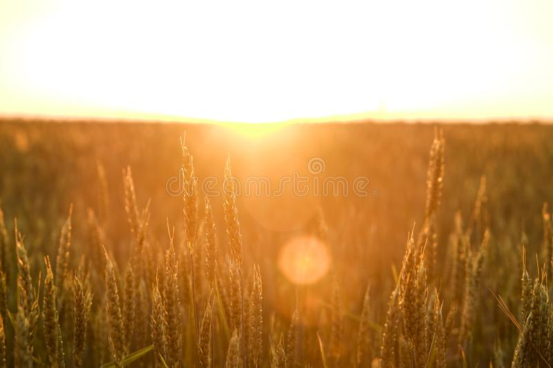Close up of green wheat ears at large cultivation field in soft orange sunset light, clear sky, horizon, sunbeam filter, glare eff stock images