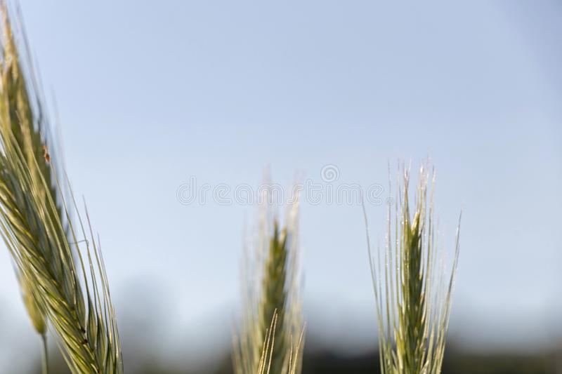Close up of green wheat on a warm soft spring sun. Wheat plant detail in Agricultural field stock photo