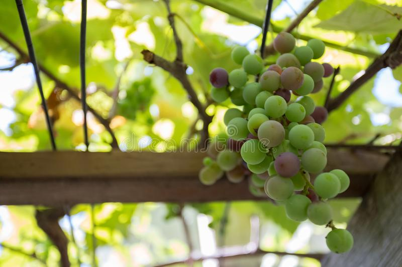Grape on Vine. Close-up of Green Wine Grape on Vine ready to be picked or harvested stock photos