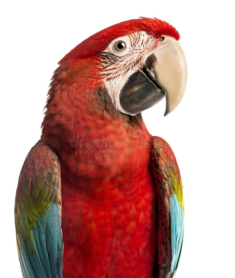 Close-up of a Green-winged Macaw, Ara chloropterus, 1 year old. In front of white background stock photography