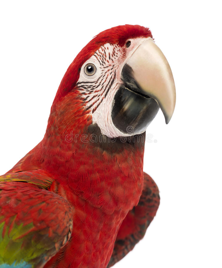 Close-up of a Green-winged Macaw, Ara chloropterus, 1 year old. In front of white background royalty free stock images