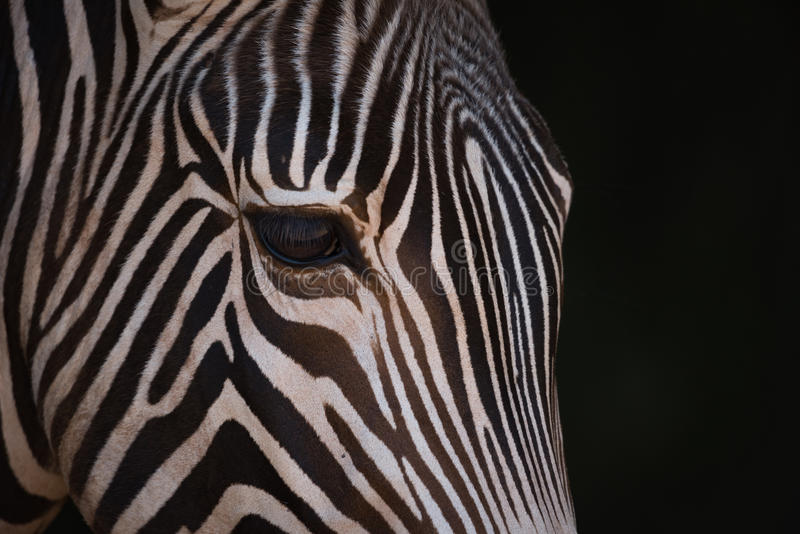 Zebra Face Side Stock Photos - Download 233 Royalty Free ...