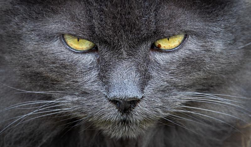 Close up of grey cat face royalty free stock images