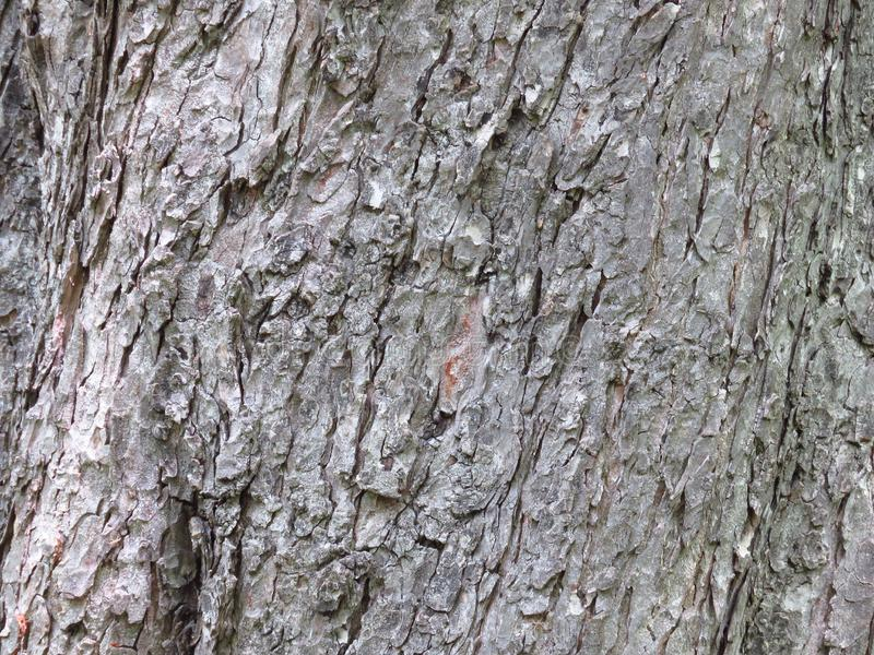 Close up of grey century-old pine tree bark . Layered cracked tree bark. Wood background with copy space for text royalty free stock images