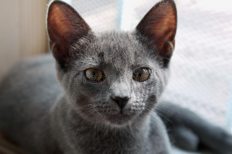 Close Up Of A Grey Russian Cat  Stock Image - Image of