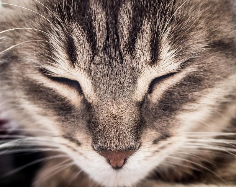 Close up of a grey tabby cat royalty free stock photo