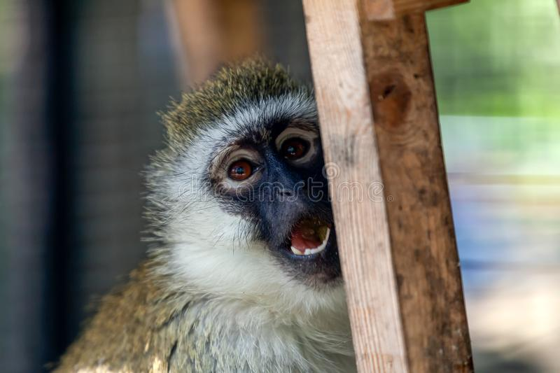 Close-up of a grivet monkey stock photo