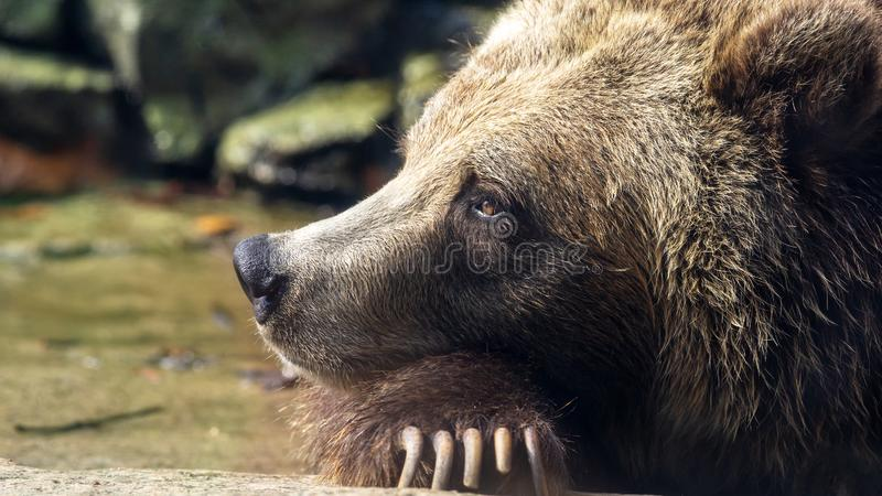 Daydreaming grizzly bear royalty free stock image