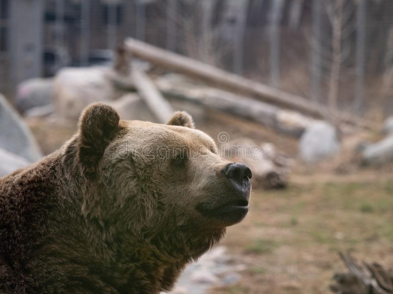 Close Up of a Grizzly Bear`s Face. In a zoo photographed with a shallow depth of field. Image has copy space stock photo