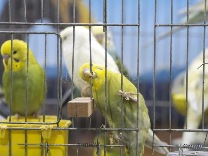 Close-up groen-geel gekleurde dwergpapegaaien die zich in kooi bevinden stock foto's