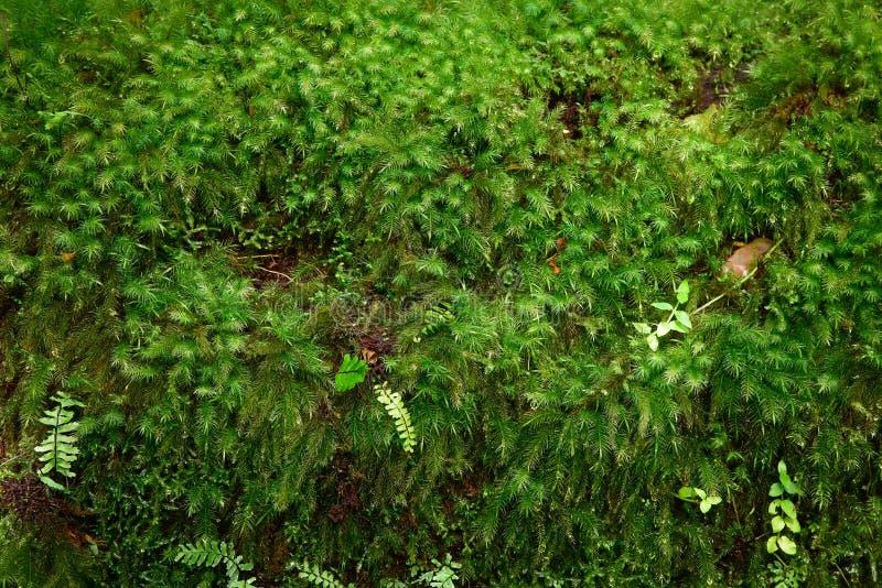 Close-up groen mos royalty-vrije stock afbeeldingen
