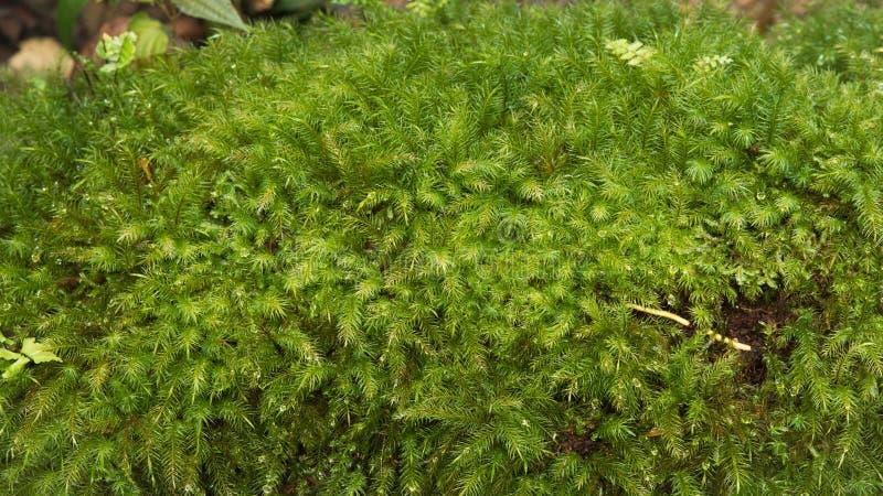 Close-up Groen mos in aard royalty-vrije stock fotografie