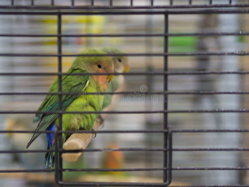 Close-up groene, gele, blauwe gekleurde dwergpapegaaien die zich in kooi bij dierenwinkel bevinden royalty-vrije stock fotografie