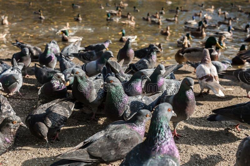 Close-up grote troep van duiven en eenden Selectieve nadruk op twee duiven royalty-vrije stock foto's