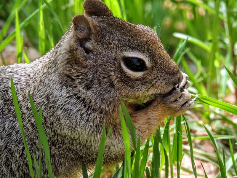 Close up of a Ground Squirrel. Between eating grass in Zions National Park Utah royalty free stock photos