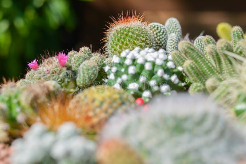 Close up group of cactus growth in ceramic flower pot decoration in garden. Small plant at home stock image