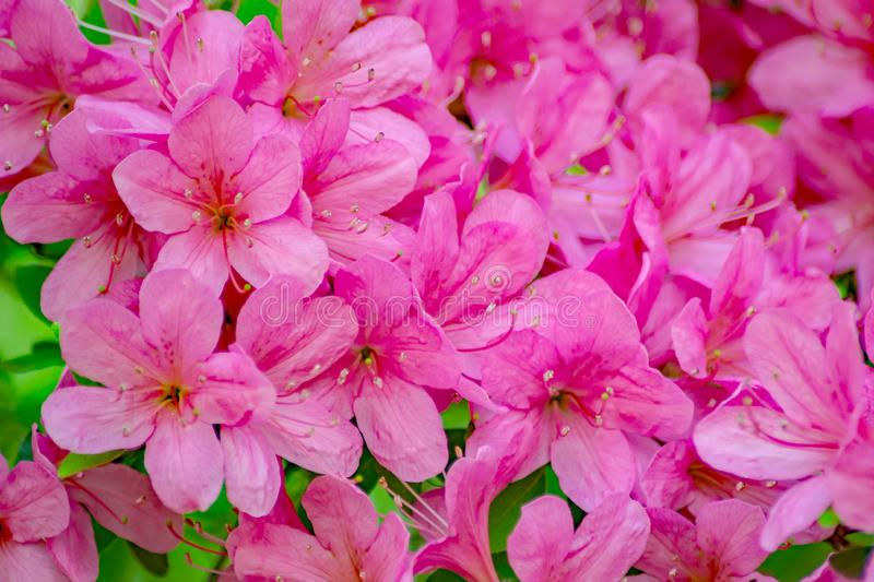 A Close-up of a Group Flowering Pink Azalea Flowers royalty free stock photography