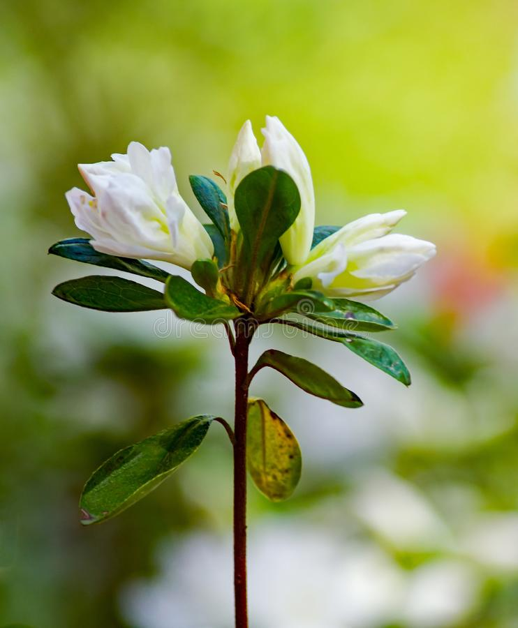 A Close-up of a Group Flowering White Azalea Buds. A close-up of a group of white azalea buds in a mountain park located in the Appalachian Mountains of Western royalty free stock images