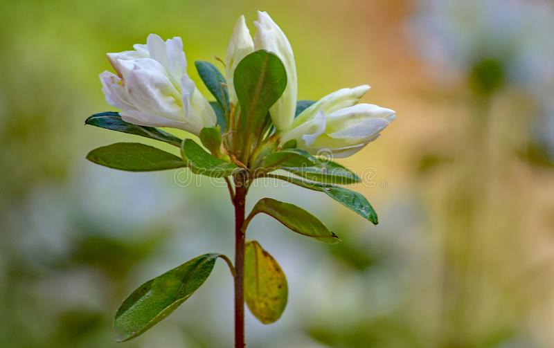 A Close-up of a Group Flowering White Azalea Buds. A close-up of a group of white azalea buds in a mountain park located in the Appalachian Mountains of Western stock image