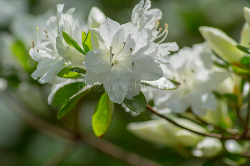 A Close-up of a Group Flowering White Azalea Flowers stock photo