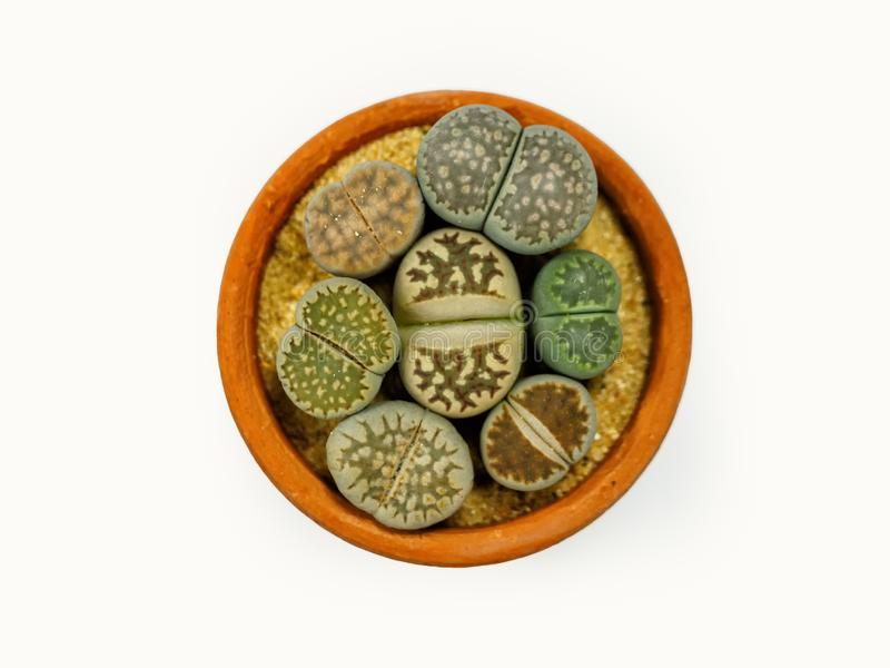 Close up group of Lithops stock photos