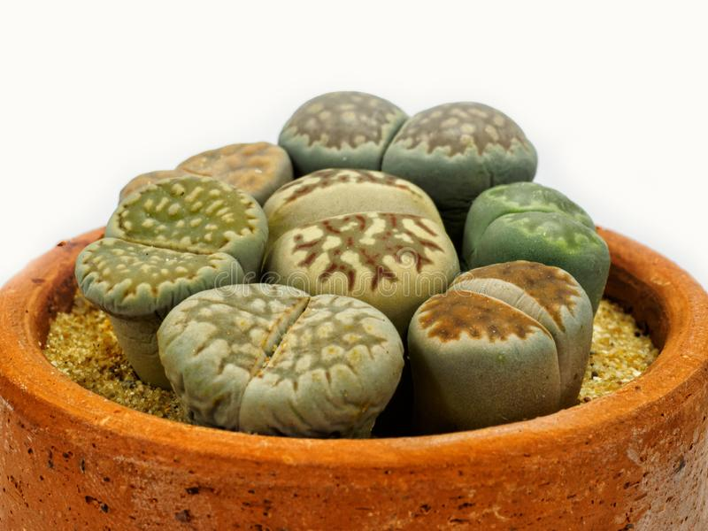 Close up group of Lithops royalty free stock photo
