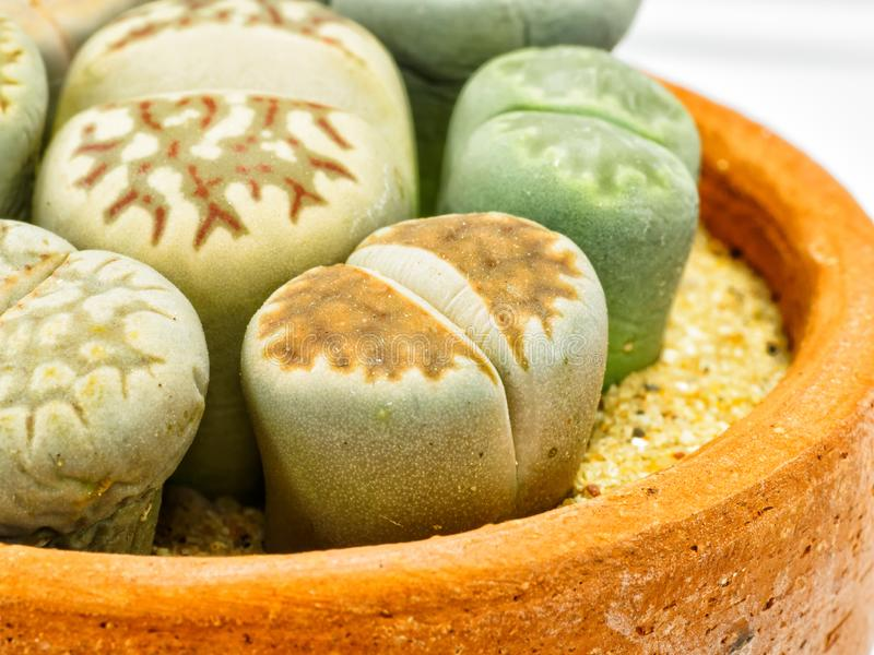 Close up group of Lithops stock photography