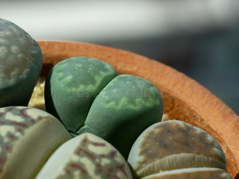 Close up group of Lithops stock image