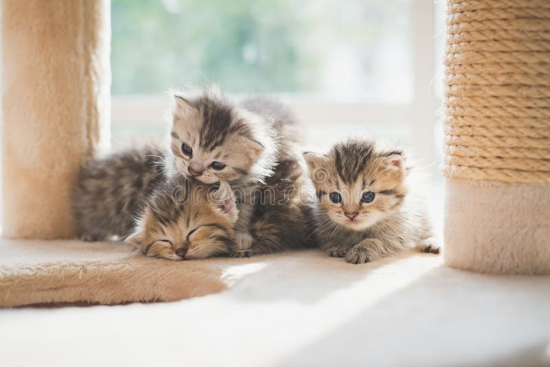 Close up Group persian kittens sitting on cat tower stock image