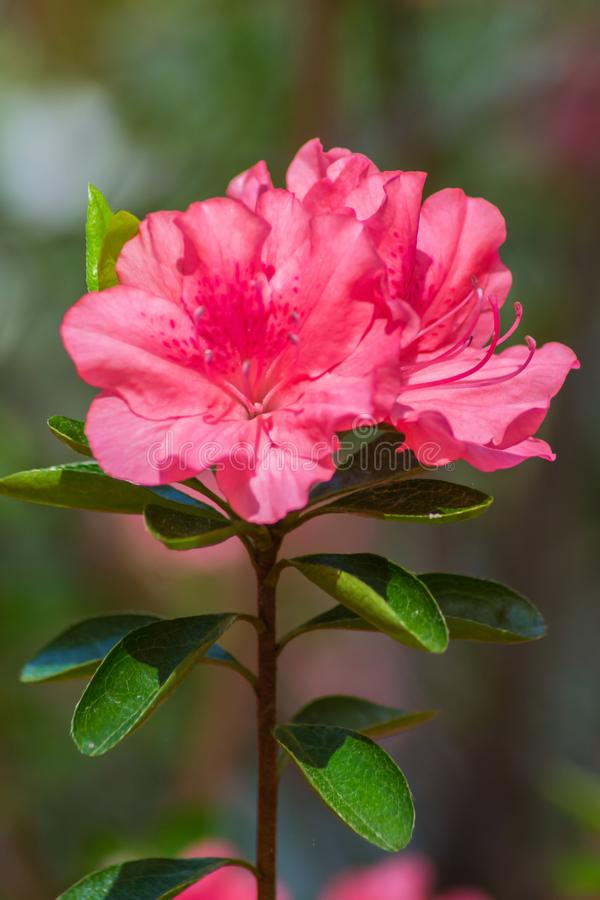A Close-up of a Group Pink Azalea Flowers royalty free stock photo