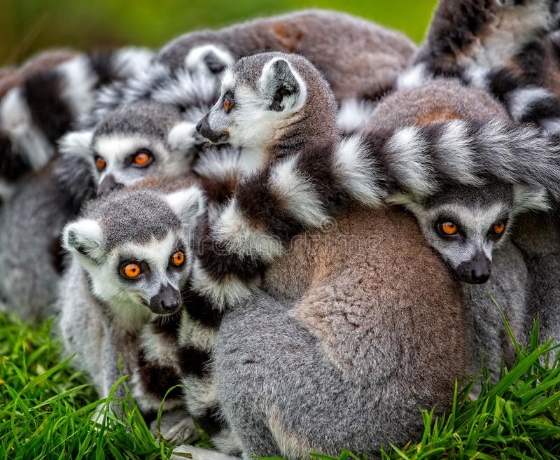 Close up of group of ring tailed lemurs huddled together stock images