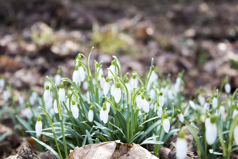 Close up of a group of snowdrops in a forrest during fall royalty free stock images