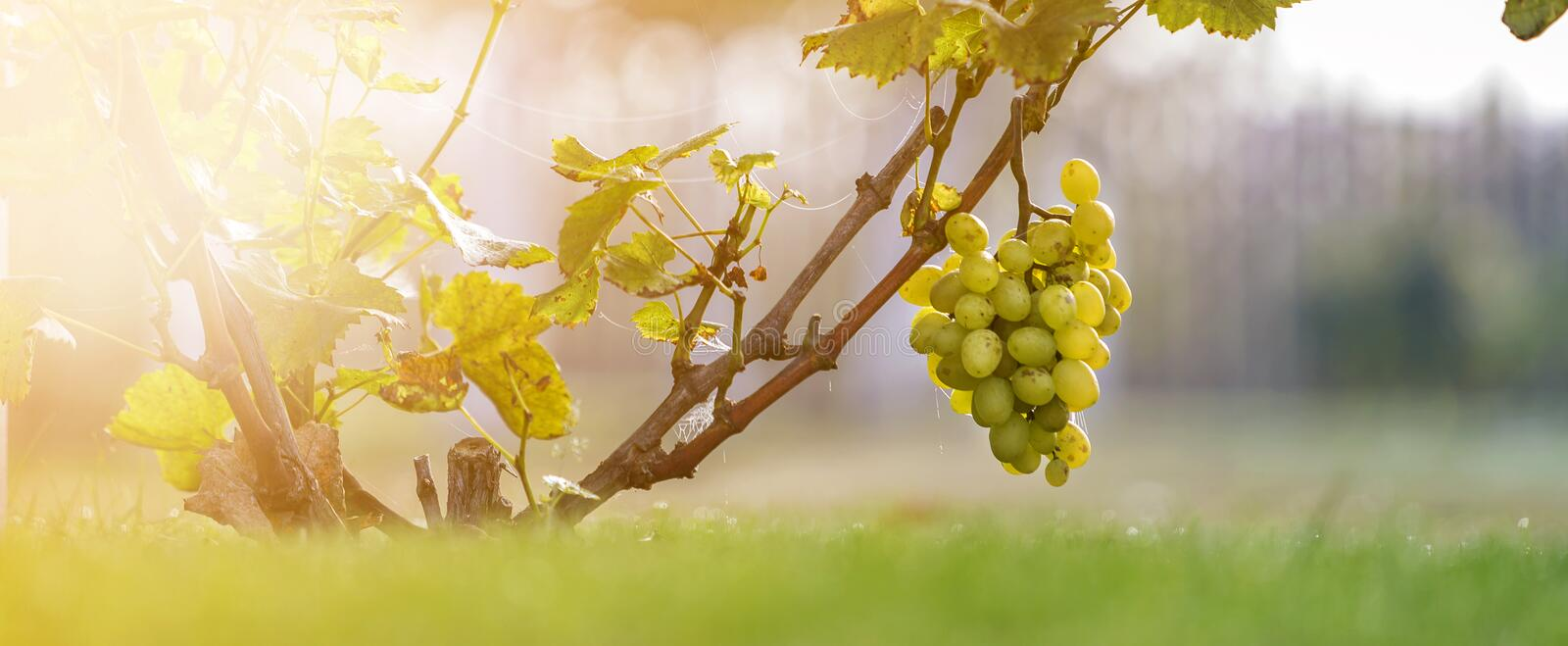 Close-up of growing young vine plants tied to metal frame with green leaves and big golden yellow ripe grape clusters on blurred. Sunny colorful bokeh stock photos